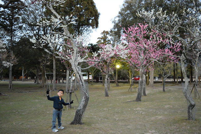 japan-nara-park-cherry-blossoms